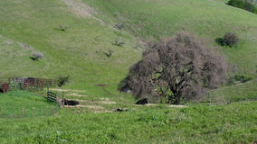 Rural scene in the chaparral. Rural scene featuring green grass, cows, and Barbed Wire Fence in the chaparral of California, Central Valley, in the winter royalty free stock photography