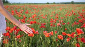 Rural scene, female hand stroking red poppies flowers. Large field of wild poppies, beauty nature concept
