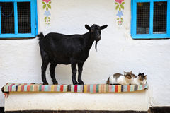 Rural scene. Goat and a cat on the bench. Royalty Free Stock Image