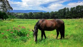 Rural Scene with A Horse Grazing Grass on A Meadow in Springtime