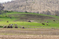 Rural scene with horses. Rural landscape with green grass and pines hill and some horses in background Stock Photography