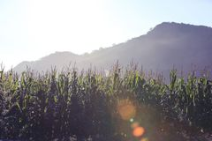 Rural scene with maize crop farm. At the foot of mountain Stock Image