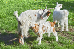 Rural scene with mother goat. Nursing her baby Stock Photo