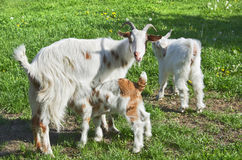 Rural scene with mother goat. Nursing her baby Royalty Free Stock Images