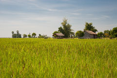 Rural scene with rice field Royalty Free Stock Images