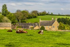 A rural scene in Rutland, UK with cows grazing. Outside the small hamlet of Whitwell close to Rutland water stock image