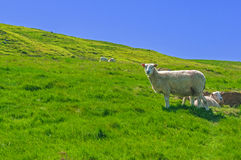 Rural Scene ,Sheep in Meadow Stock Photo