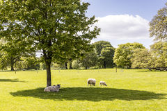 Rural scene with sheep and new lambs. Royalty Free Stock Photography