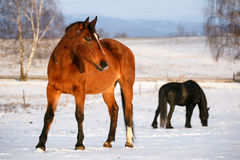 Rural scene with two horses in snow on winter day. Stock Photo