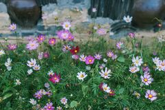 Rural scenery with cosmos flowers stock photography
