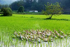 Rural Scenery. Ducks foraging on the rice fields, Taiwan Royalty Free Stock Photography