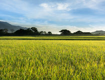 Rural scenery of paddy farm Stock Image