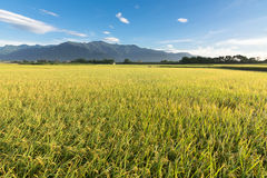 Rural scenery of paddy farm Stock Images