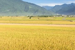 Rural scenery of paddy farm Stock Photos