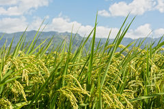 Rural scenery of paddy Stock Photo