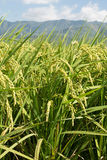 Rural scenery of paddy Royalty Free Stock Images