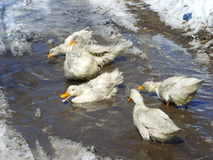 Rural scenery-White duck was taking a bath Stock Image