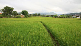 Rural scenic of paddy rice field Stock Images