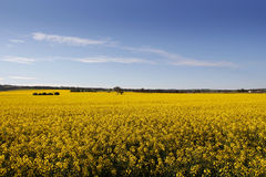 Rural sea of Canola Royalty Free Stock Photo