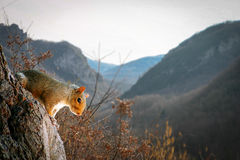 Rural Squirrel. A grey squirrel looking down from a tree with the French Pyrenees in the background Royalty Free Stock Image