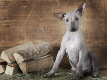 Rural styled shot of a puppy with firewood Stock Photography