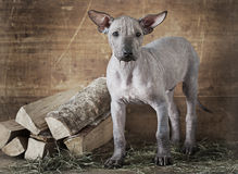 Rural styled shot of a puppy. Rural styled shot of Mexican xoloitzcuintle puppy Stock Photos