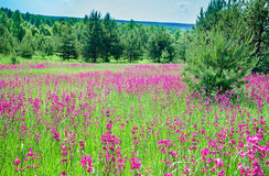 Rural summer landscape with the  a blossoming meadow Stock Images