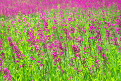 Rural summer landscape with the  a blossoming meadow Stock Image