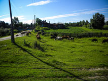 Rural summer landscape with cows Stock Photo