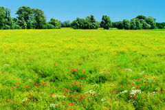 Rural summer landscape with green meadow and blooming flowers in sunlight. Stegna, Pomerania, Poland stock image