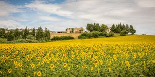 Rural summer landscape with sunflower fields and olive fields near Porto Recanati in the Marche region, Italy royalty free stock photos