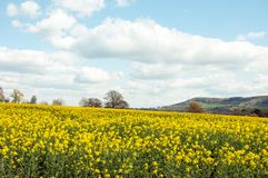 Yellow rapeseed crops in the English countryside. stock images