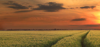 Rural sunset. Colorful sunset over a field of cereals Royalty Free Stock Image