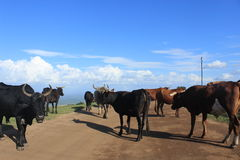 Rural Swaziland, cows blocking the road, transport in africa Royalty Free Stock Image