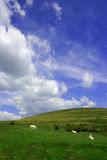 Rural Tranquility on a Hillside. Sheep grazing on a hillside on summer against a backdrop of a blue sky and puffy white clouds. Set in the Brecon Beacons Royalty Free Stock Images