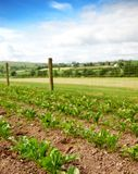 Rural Vegetable Plot. Drills of vegetables growing during summer time Stock Image
