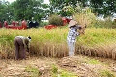 In rural Vietnam. Vietnamese woman farmer harvest on a rice fiel Stock Images