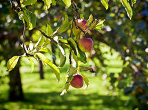 Rural view, apple tree in summer with fruits Stock Images