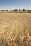 Rural wheat. Field of wheat ready to harvest with the sky as the background Royalty Free Stock Photo