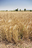 Rural wheat Royalty Free Stock Photo