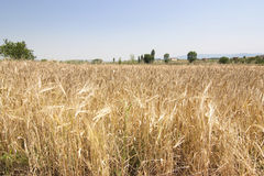 Rural wheat Royalty Free Stock Images