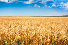 Rural wheat field with blue sky. Cereal plant field with blue sky in a sunny summer day before harvesting Stock Photography
