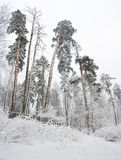 Rural winter landscape with forest and snow Royalty Free Stock Photography