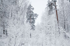 Rural winter landscape with forest and snow Stock Image