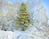 Rural winter snowy landscape with forest,footpath and blue sky. Trees covered with snow. wintry frosty day royalty free stock photos