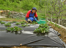 Rural woman arrange strawberry seedlings Royalty Free Stock Photos