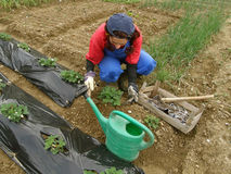 Rural woman dig field full of vegetables Stock Photography