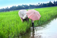 Rural woman working in rice plantation Royalty Free Stock Images