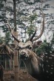 Rusa Royalty-vrije Stock Afbeeldingen