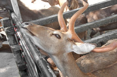 Rusa deer Stock Images